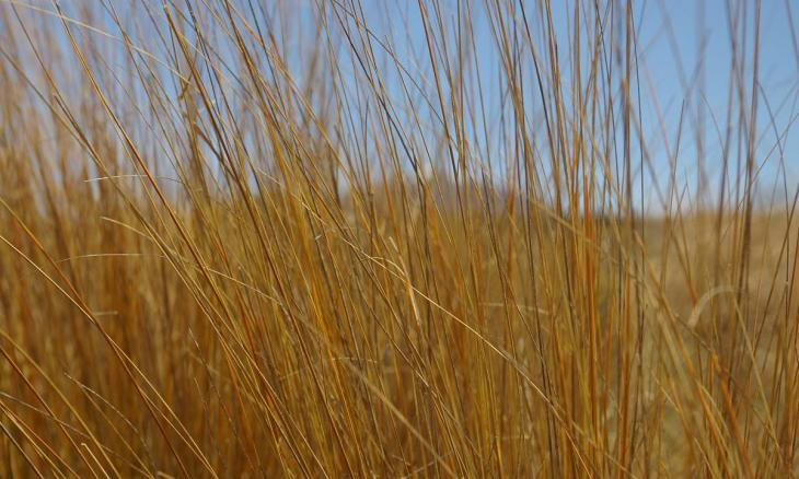 Golden coloured grass blowing in the wind with a blue sky in the background